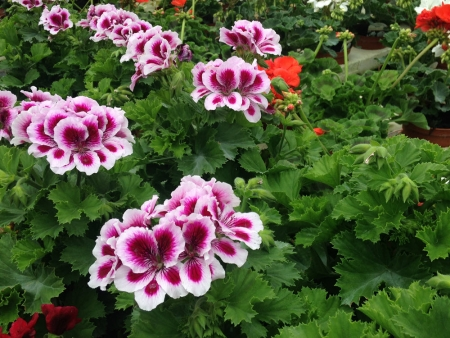 Trailing geraniums for summer bedding in gardens.