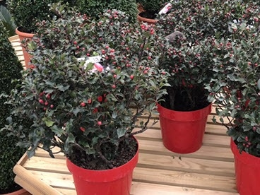 Christmas holly planters at Woolpit Nurseries.