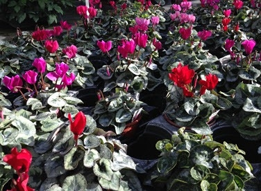 Hardy cyclamen for Christmas planters