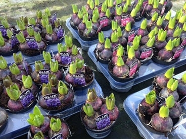 Hyacinth bulbs growing ready to plant in planters