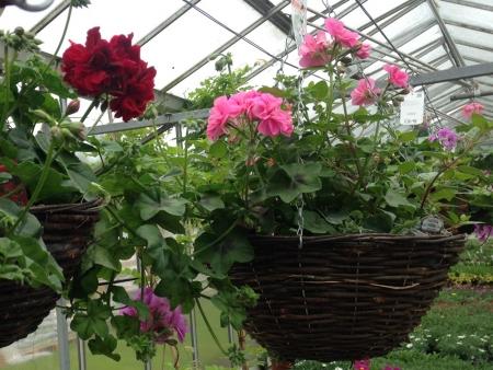 Geranium hanging basket to buy.