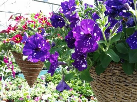 Petunia hanging basket.
