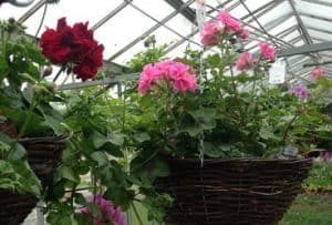 Seasonal hanging baskets with quality garden plants by Woolpit Nurseries