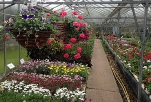 Quality garden plants and flower bedding plants at Woolpit Nurseries Suffolk