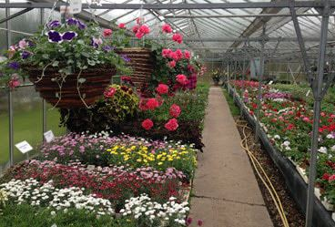 Garden flower bedding plants at Woolpit Nurseries Suffolk