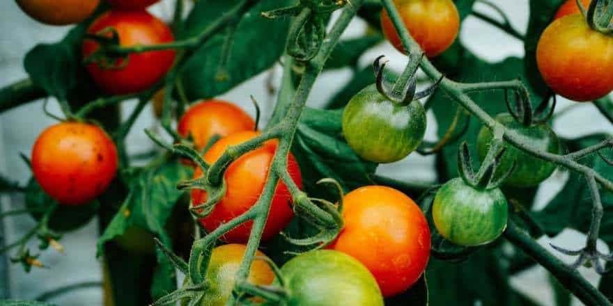 Tomato plants and vegetables