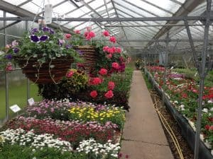 Quality garden bedding plants and flower bedding plants at Woolpit Nurseries Suffolk