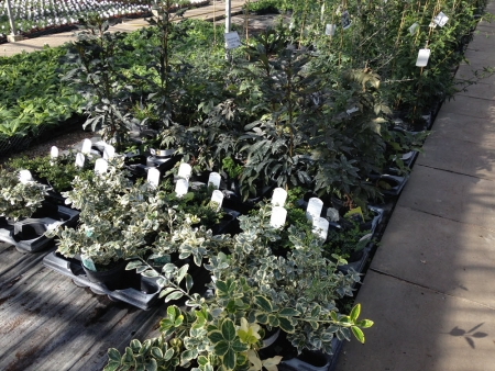 Various foliage plants for bedding in gardens.