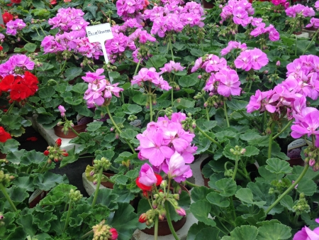Geraniums for summer bedding in gardens.