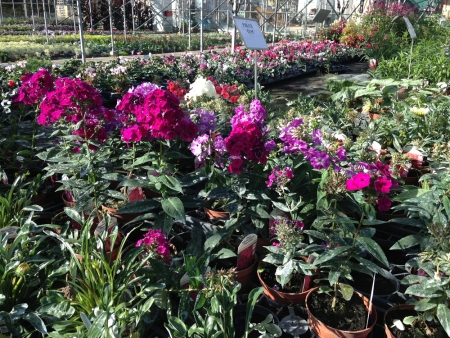 Phlox for summer bedding in gardens, flowers June to October.