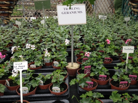 Trailing geraniums for summer bedding in gardens.