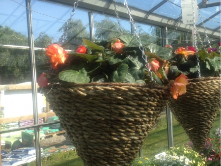 Bergonia bedding plants for garden beds, containers or hanging baskets.