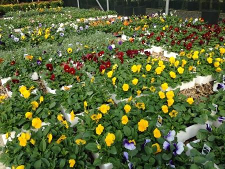 Winter pansies for winter garden bedding plants.