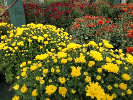Chrysanthemums for autumn bedding in gardens.