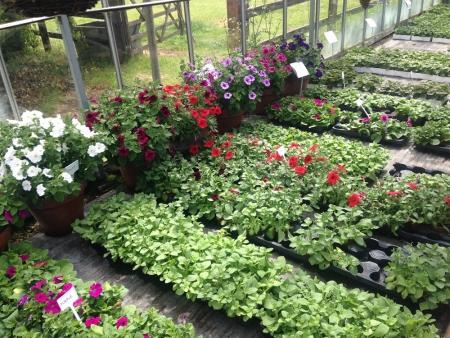 Petunias for summer bedding in gardens.