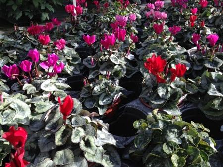 Hardy cyclamen for winter garden bedding plants.