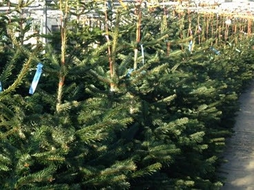 Christmas trees fresh and watered at Woolpit Nurseries.