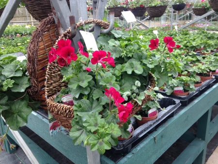 Wall mounted baskets with geraniums.