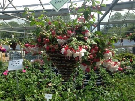 Hanging baskets with fuchsias.