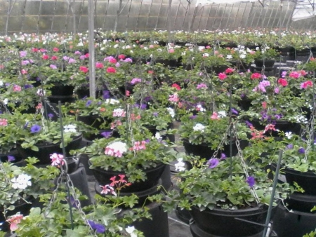 Spring hanging baskets growing in the greenhouses.
