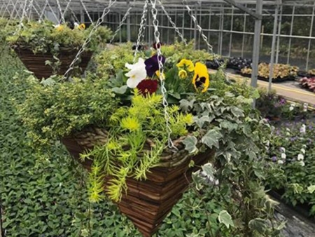 Winter hanging basket with foliage and pansies