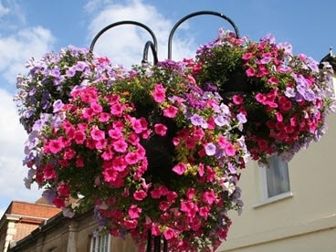 Floral hanging baskets for Bury In Bloom.