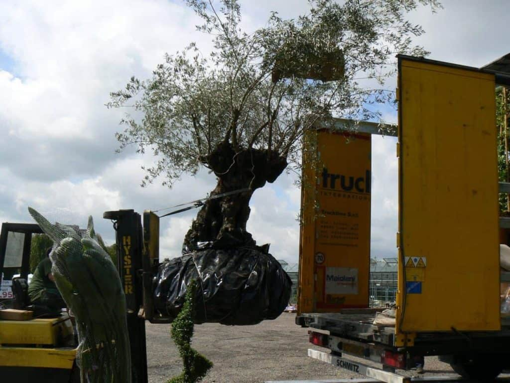 Large Olive Tree ordered for Woolpit plant nurseries customer