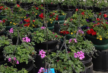 Hanging baskets to go & planters for sale at Woolpit Nurseries.
