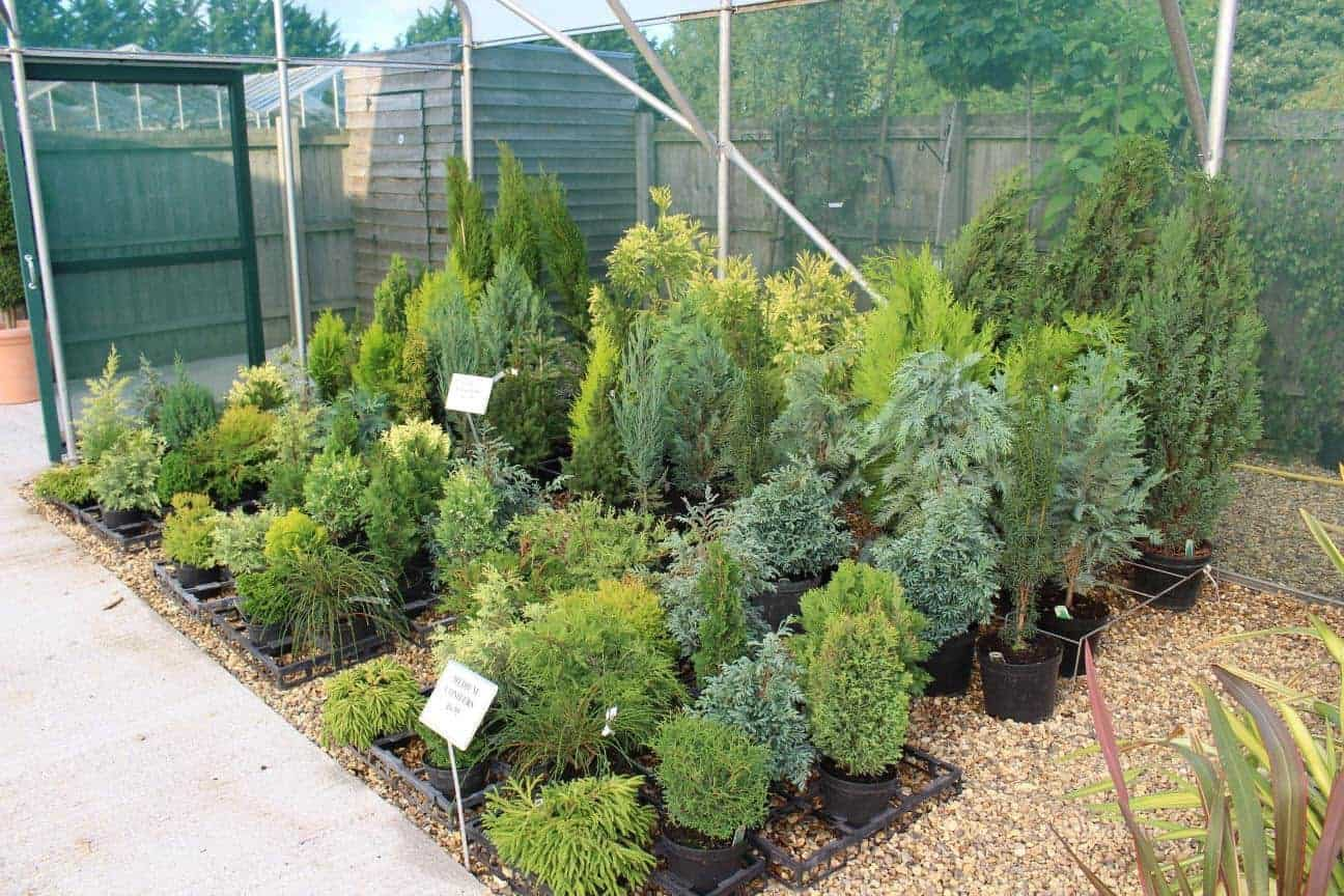 Conifers in Hardy Plants Centre at Woolpit Nurseries.
