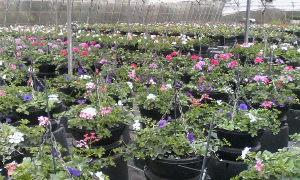 Hanging Baskets replanted for customers in Suffolk
