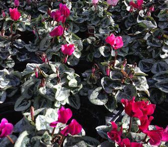mini cyclamen for winter bedding plants