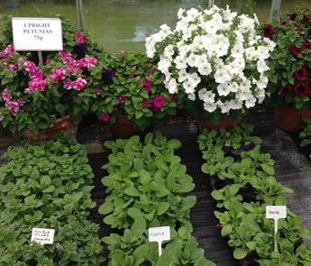 petunias summer garden bedding plants for sale