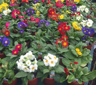 Primulas spring garden bedding plants at Woolpit plant Nurseries