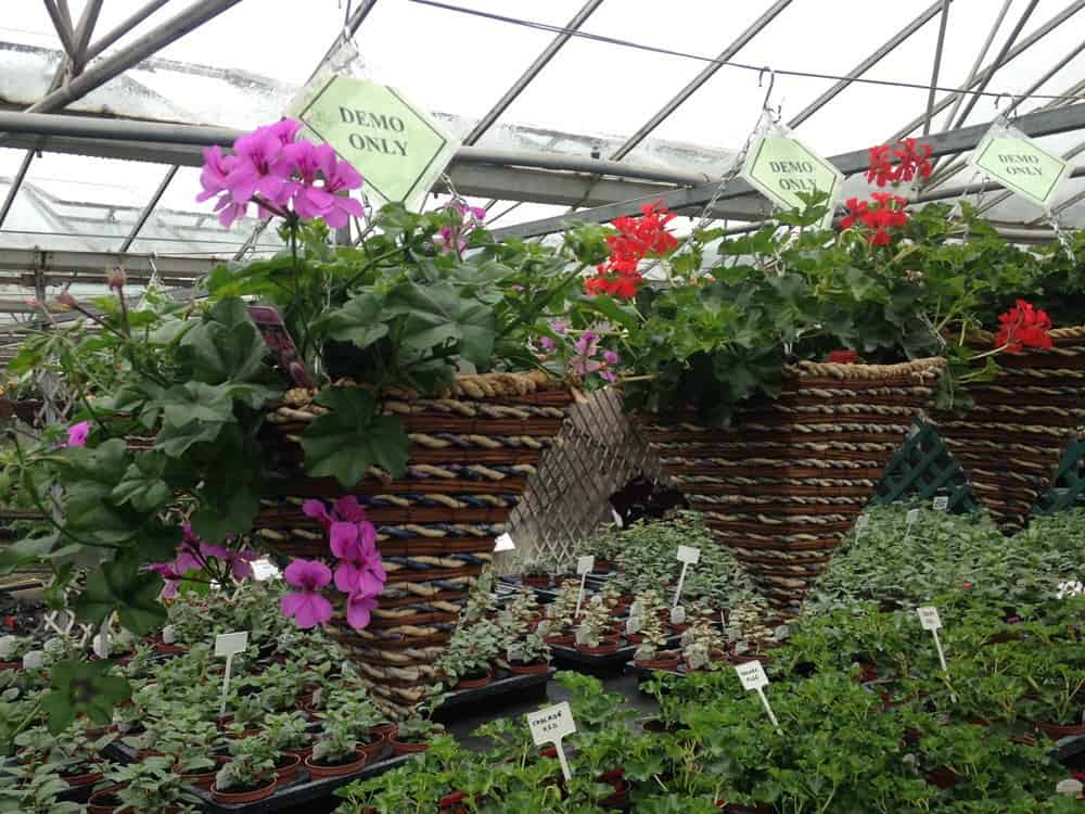 Hanging baskets for Bury In Bloom
