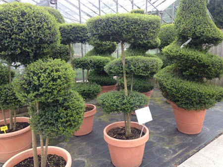 Italian topiary plants at Woolpit Nurseries