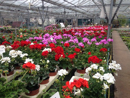 Seasonal bedding plants at Woolpit Nurseries