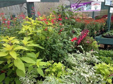 Hardy plants, perennials at Woolpit Nurseries