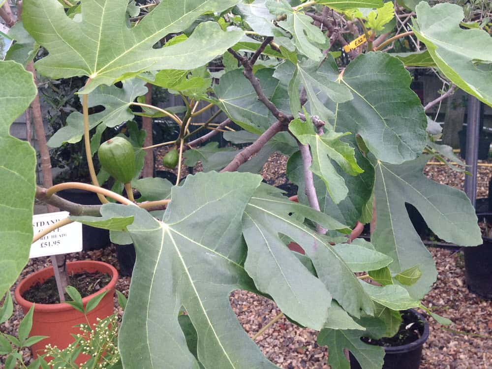 Ficus fig tree, Italian tree