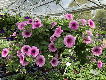 Hanging baskets ready for the garden at Woolpit Nurseries.