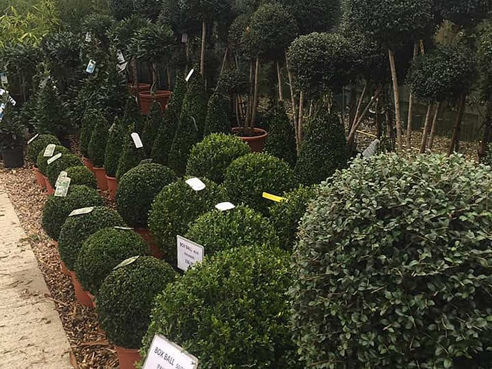 Buxus ball shrubs, Italian topiary plants