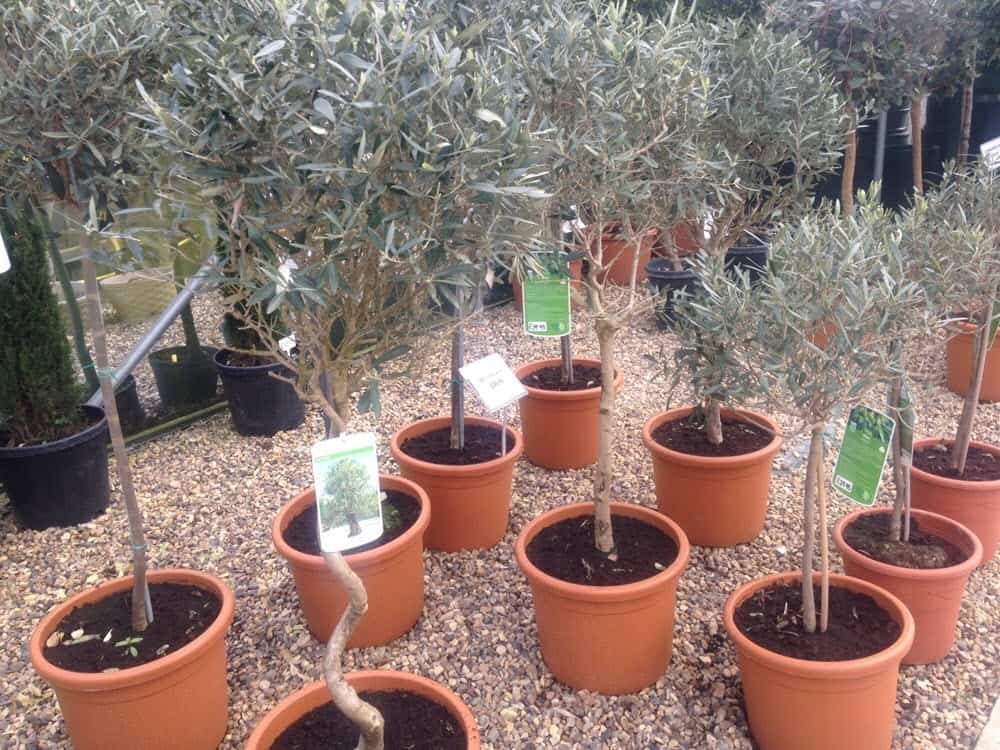 Olive trees, topiary in large pots